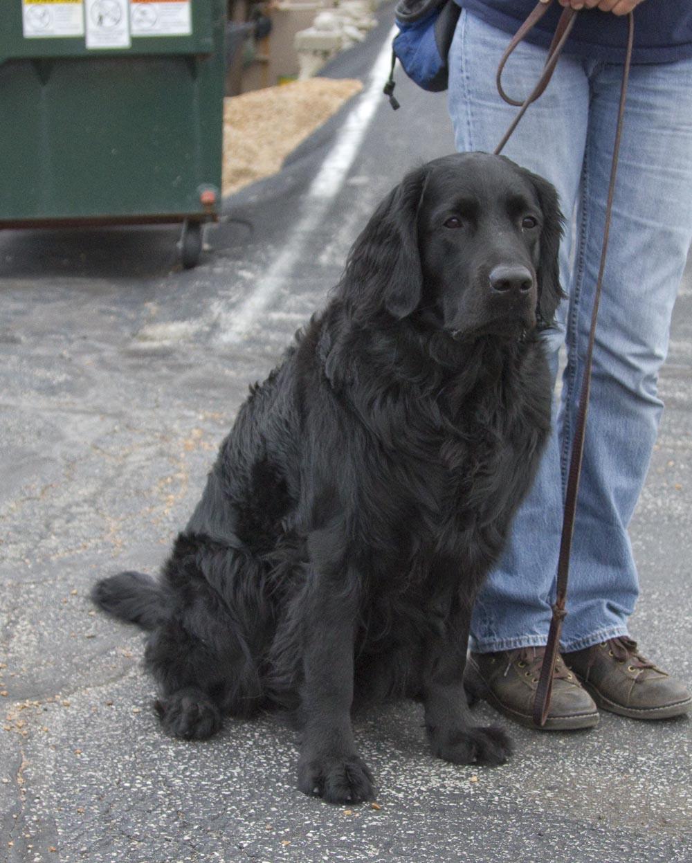 Long-coated Labradors